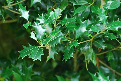 ヒイラギの葉のギザギザ1