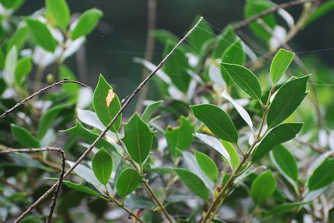 ヒイラギの葉のギザギザ2