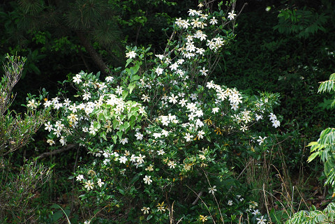 クチナシの白い花1