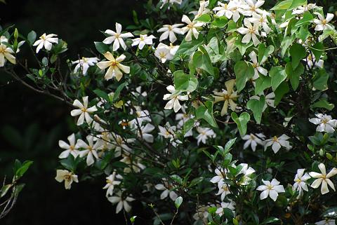 クチナシの白い花2