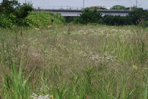 矢作川の川原はヒメジオンがいっぱい