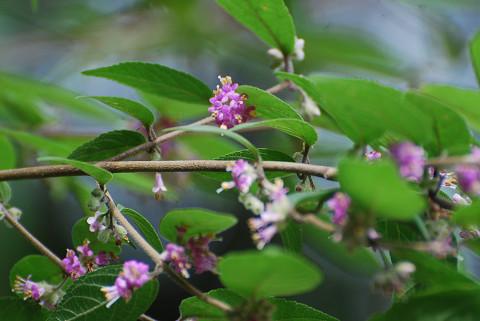 ムラサキシキブんび紫の花が