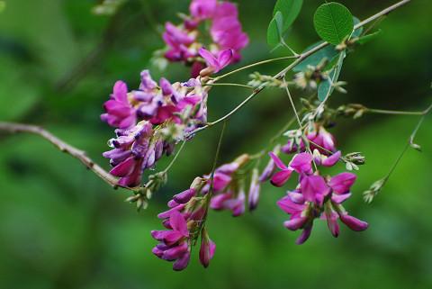 ハギの花が美しい