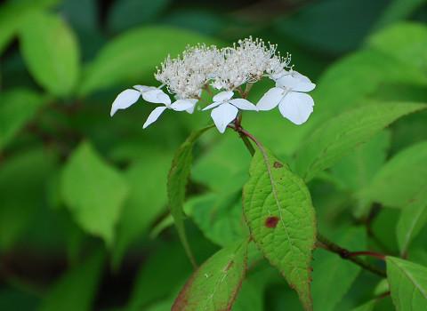 ヤマアジサイの白い花が