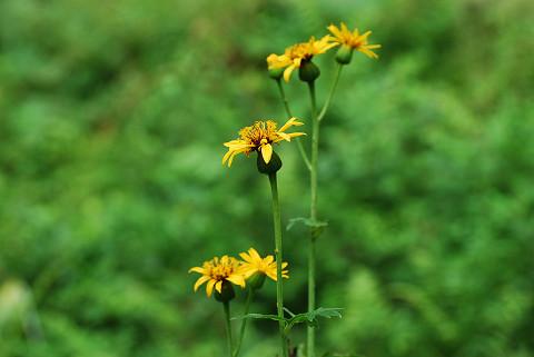 ハンカイソウ黄色の花2