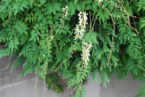 この羽状複葉の植物は1