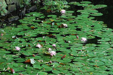 池にスイレンが1