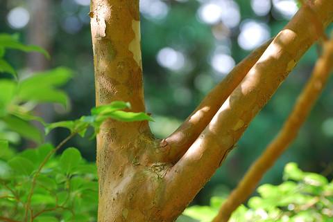 ヒメシャラの木肌が