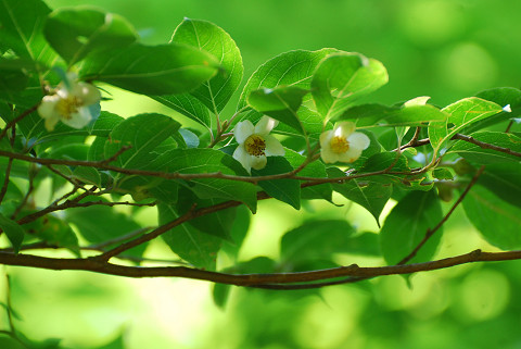 ヒメシャラの花は