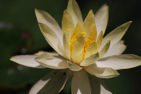 黄色のスイレンの花