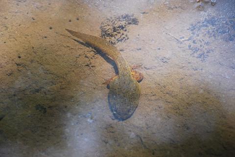 ウシガエルのオタマジャクシ