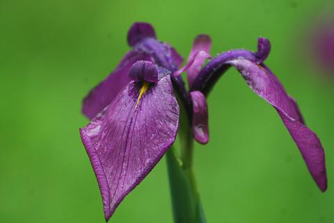 ノハナショウブの紫の花