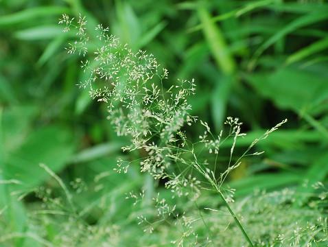 ノガリヤスの白い花