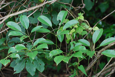 ムベの束生する葉