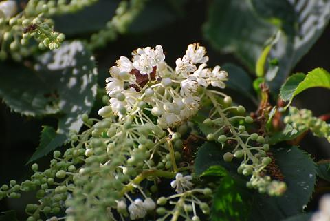 リョウブの花をアップ