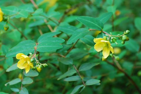 キンシバイが黄色い花を