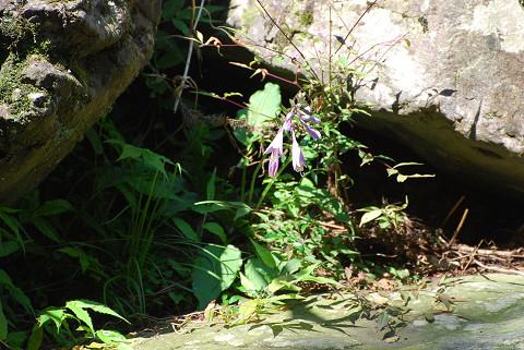 コバノギボウシの薄紫の花