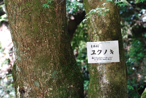 ユクノキの木肌は