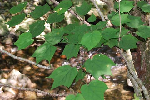 オニイタヤの葉が