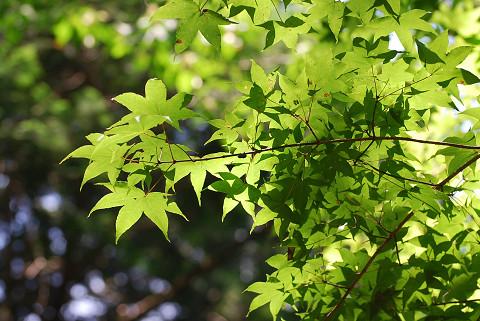 オオモミジの葉が