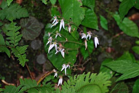 ユキノシタの花が美しい