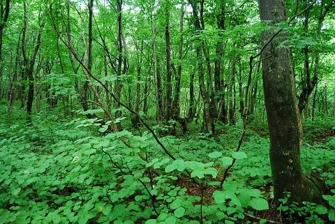 ブナの森の風景