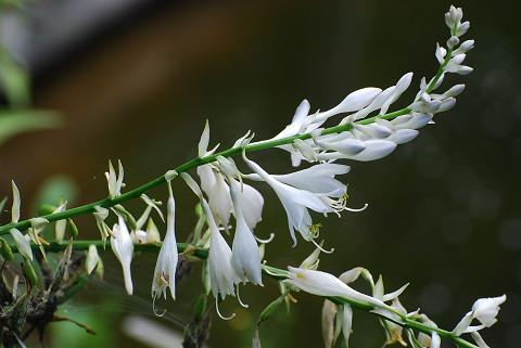 オオバギボウシの花が