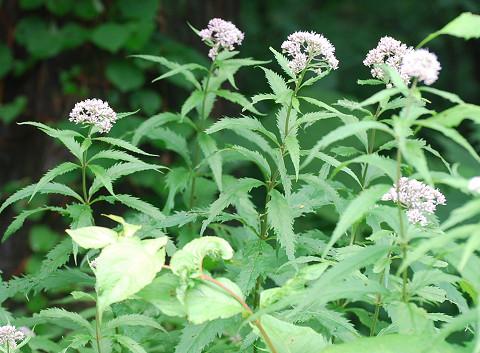 ヨツバヒヨドリの花1