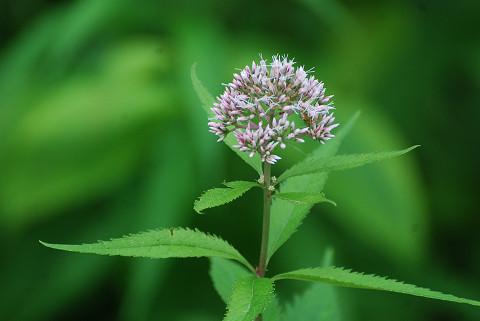 ヨツバヒヨドリの花2