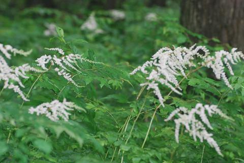 白い花のトリアシショウマ