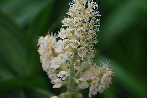 コバイケイソウの花をアップ