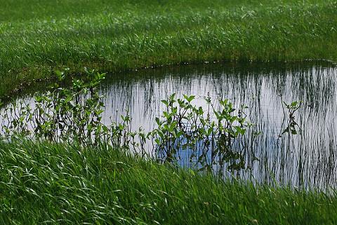 池塘の植物1