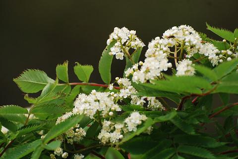 ナナカマドの白い花