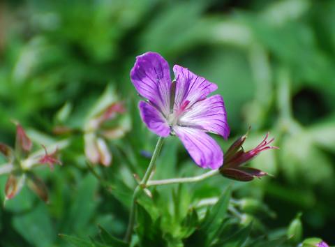 ハクサンフウロの花がきれい2