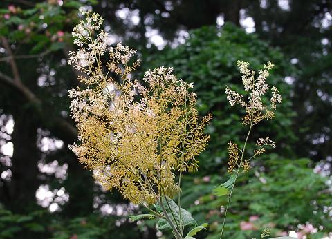 タケニグサの花が