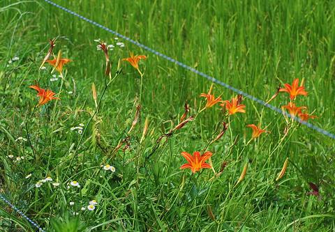 ノカンゾウの花が群生