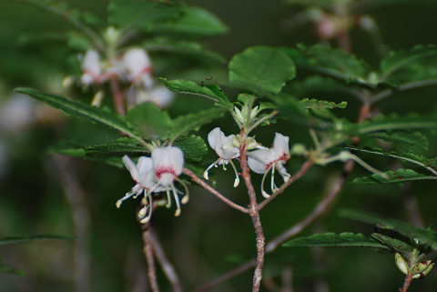 バイカツツジが咲いていた