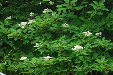 ノリウツギの白い花が