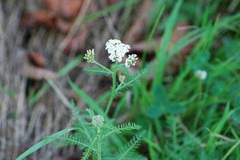 ノコギリソウの白い花