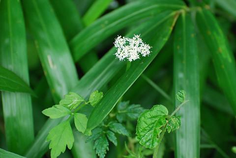 ヤマゼリの白い花が
