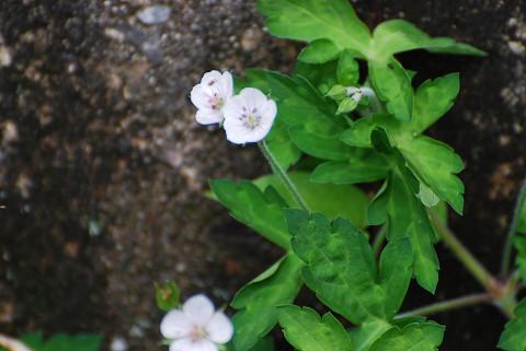 ゲンノウショウコに花が