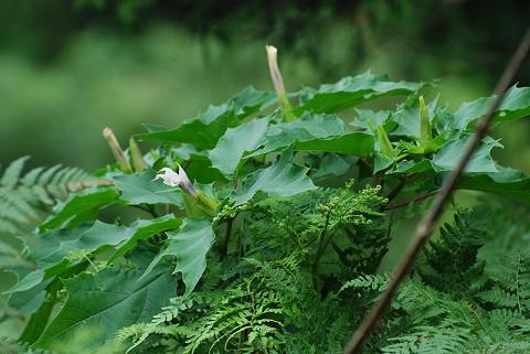 チョウセンアサガオが咲き始めた