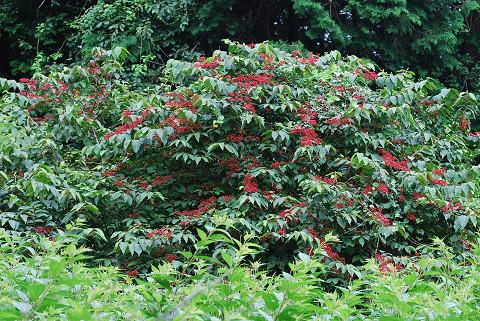 ヤブデマリの実が赤い花のようだ