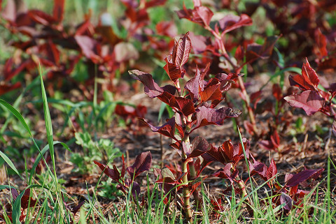 イタドリの赤い葉が