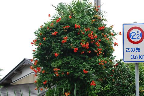 ノウゼンカズラの花が