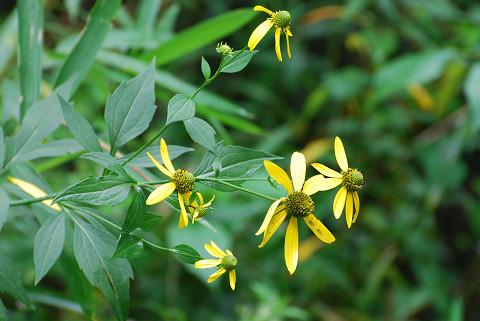 オオハンゴンソウの黄色い花