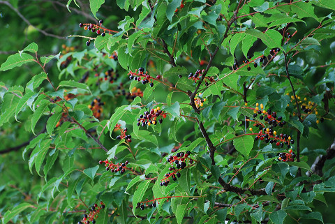 ウワミズザクラの実が美しい