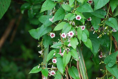 ヘクソカズラの花は