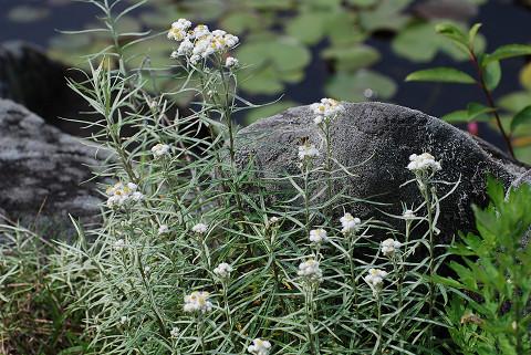 ヤマハハコの白い花