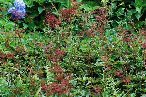 シモツケソウの赤い花